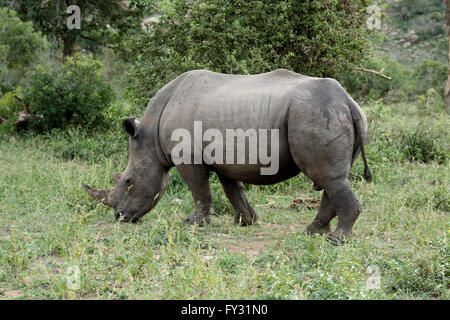 Lone White Rhinoceros grazing - Stock Photo