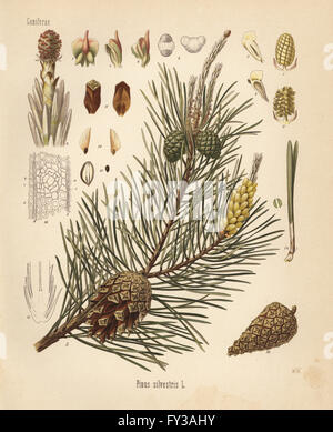 Scotch pine or Scots pine, Pinus sylvestris. Chromolithograph after a botanical illustration by Walther Muller from - Stock Photo