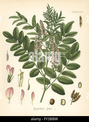 Liquorice or licorice, Glycyrrhiza glabra. Chromolithograph after a botanical illustration from Hermann Adolph Koehler's - Stock Photo