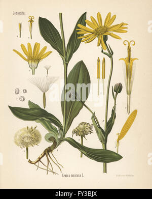 Wolf's bane or mountain arnica, Arnica montana. Chromolithograph after a botanical illustration by Walther Muller - Stock Photo