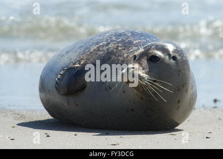 Close up of gray seal (Halichoerus grypus) at the beach at Dune, Helgoland, Germany - Stock Photo