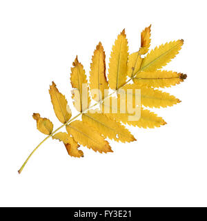 Autumn leaves of a rowan, under-surface, Sorbus aucuparia - Stock Photo