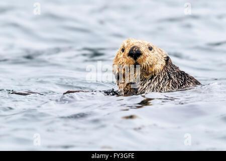 Northern sea otter grooming buoyantly in the sea off the Alaska coast - Stock Photo