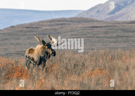 Bull moose feeding in the remote tundra in the Alaska Range mountains during the autumn rut - Stock Photo