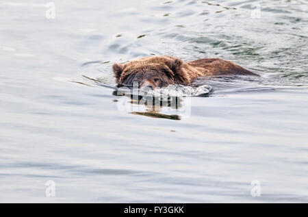 Female brown bear searching for spawning salmon in Katmai National Park, Alaska - Stock Photo