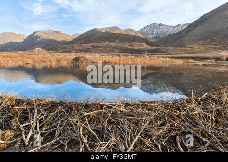 A beaver dam and pond reflecting the Alaskan Range mountains. - Stock Photo