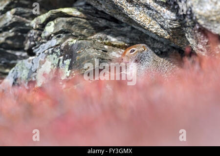 Arctic Ground Squirrel high in the Alaskan Range mountains. - Stock Photo