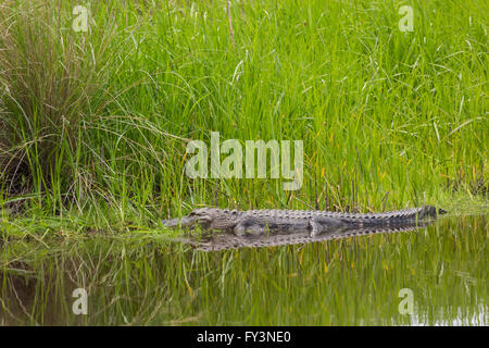 An American alligator is reflected in the calm water as it rests along a reed covered bank at Lodge Pond in the - Stock Photo