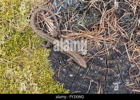 Common Lizard, or Viviparous Lizard, Zootoca vivipara (formerly Lacerta vivipara), male, Gloucestershire, UK