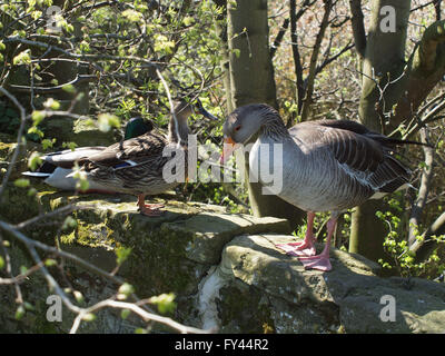 Newcastle Upon Tyne, 21st April 2016, Uk weather: A Greylag goose with a male and female mallard sitting on a stone - Stock Photo