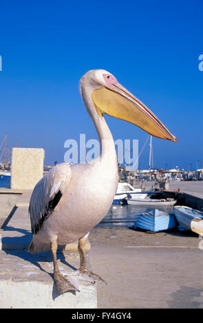 Pelikan in the harbour of Pafos, South CYPRUS, Europe - Stock Photo
