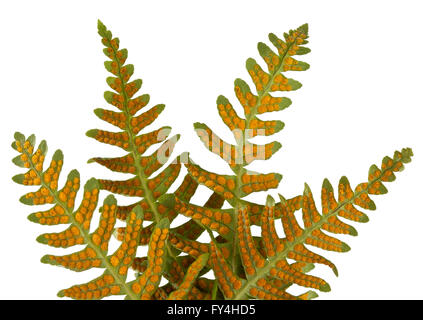 The underside of  Licorice fern leaves 'Polypodium glycyrrhiza' showing reproductive spores - Stock Photo
