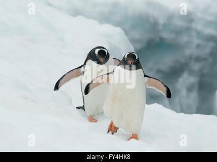 Gentoo Penguins (Pygoscelis papua) in snow, Booth Island, Antarctic Peninsula, Antarctica - Stock Photo