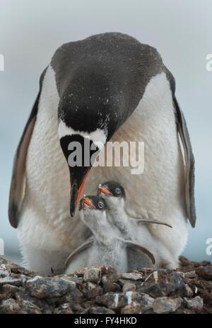 Gentoo Penguin with chicks (Pygoscelis papua)  Port Lockroy, Antarctic Peninsula, Antarctica - Stock Photo
