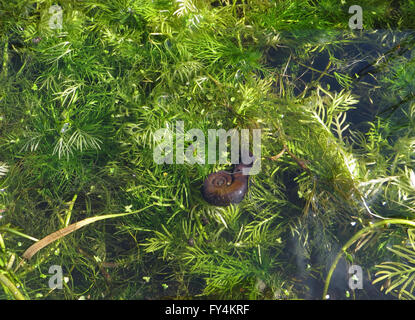 Greater ramshorn snail (Planorbarius corneus) and tiny wandering snail (Radix peregra) on water crowfoot and water - Stock Photo