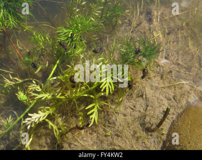 Small pond snails (Planorbarius corneus, Lymnaea stagnalis and Radix peregra) on water violet (Hottonia palustris) - Stock Photo