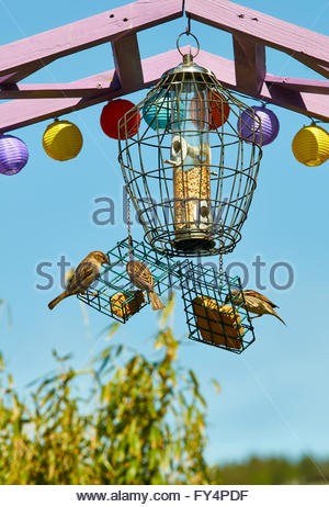 House Sparrows Passer domesticus feeding on bird feeder - Stock Photo
