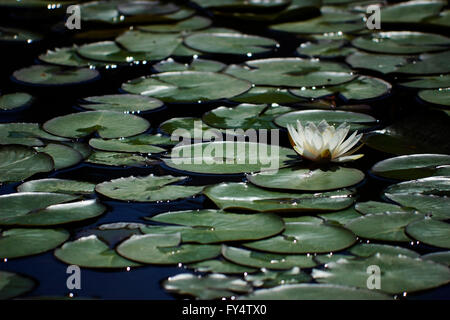 A fresh floating backlit white waterlily flower floating on water  pond surface, surrounded by lilly pads (leaves) - Stock Photo