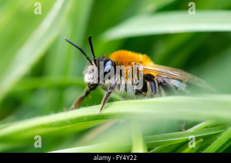 Andrena nitida, female mining bee. A female solitary bee in profile, with striking fox-red coloration of thorax - Stock Photo