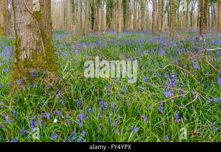 Common Bluebells (Hyacinthoides non-scripta) growing in woodland in Spring in West Sussex, England, UK. - Stock Photo