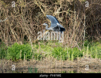 Grey Heron in flight and landing - Stock Photo