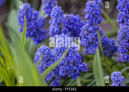 Muscari armeniacum Blue Spike Grape hyacinth