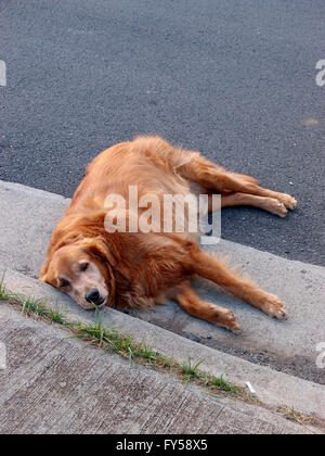 Cute Golden Retriever dog in lays side on road next to sidewalk. - Stock Photo