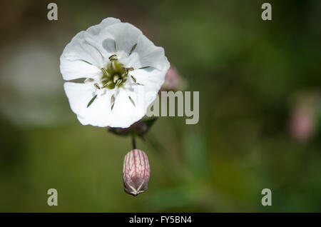 Sea campion (Silene vulgaris) flower and calyx tube, on plant in family Caryophyllaceae, common on European coasts - Stock Photo