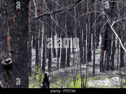 Gomel Region, Belarus. 22nd Apr, 2016. A burnt out forest in the village of Lomachi, Khoiniksky District, located - Stock Photo