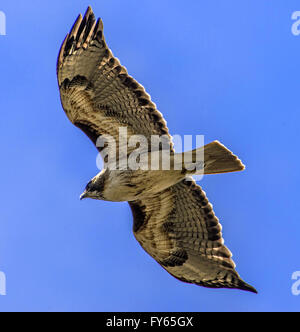 Fullerton, California, USA. 22nd Apr, 2016. A red-tail hawk soars over the Coyote Hills Golf Course in Fullerton, - Stock Photo