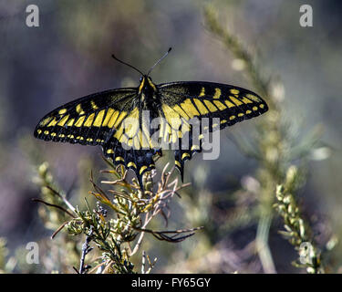 Fullerton, California, USA. 22nd Apr, 2016. An Anise Swallowtail butterfly, a little worse for wear, it's wing possibly - Stock Photo