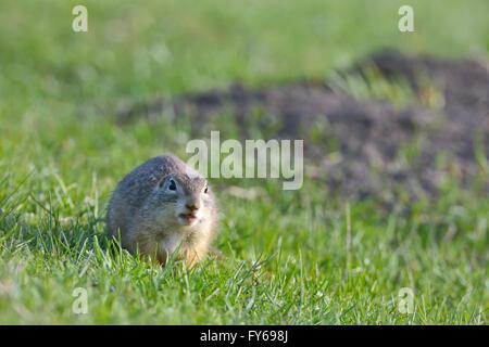 european ground squirrel standing on grass - Stock Photo