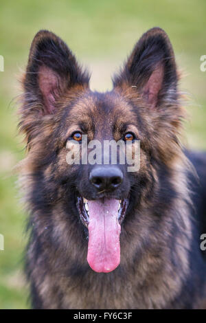 German Shepherd Dog Alsatian looking straight at the camera with his ears up and huge tongue hanging out. - Stock Photo