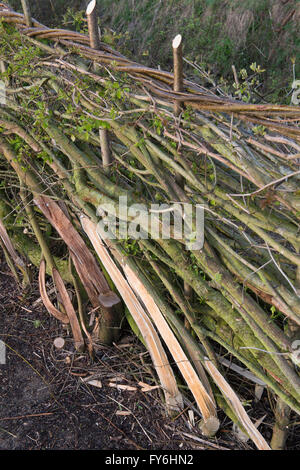 Traditional laid hedgerow in the English countryside - Stock Photo