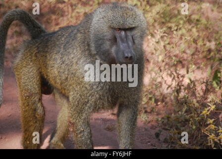 Distant relatives. Olive Baboon in Lake Manyara National Park. - Stock Photo