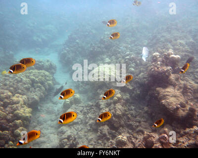 Kikakapu - Raccoon Butterflyfish swim above the coral with other fish swimming in the background in Hanauma Bay - Stock Photo