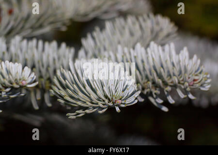 Korean fir (Abies koreana) - Stock Photo