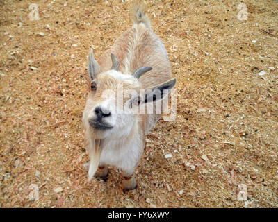 Baby billy Goat with horns and a goatee looks up at the camera Petting Zoo. - Stock Photo