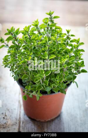 Fresh Oregano herbs in a garden pot - Stock Photo