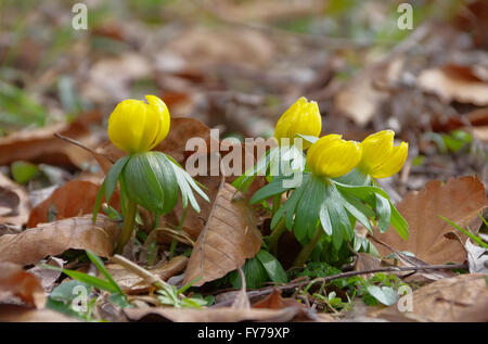 Winterling - winter aconite 06 - Stock Photo