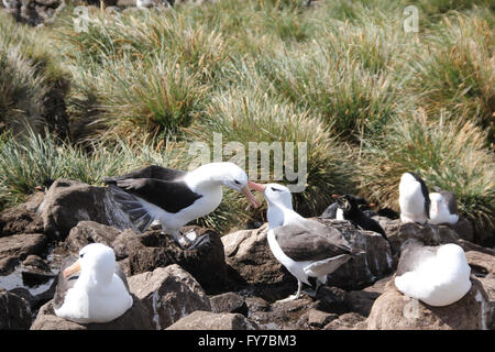 Albatross and Rockhopper penguin colony in West Point Island, Falkland Islands, South Atlantic - Stock Photo