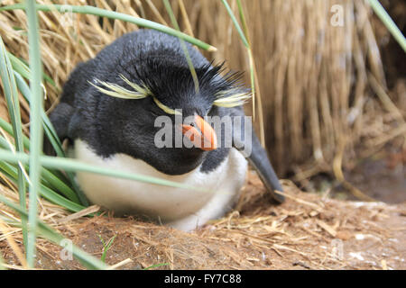 Rockhopper penguin colony in West Point Island, Falkland Islands, South Atlantic - Stock Photo