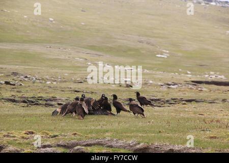 Striated caracara at West Point Island, Falkland Islands, South Atlantic - Stock Photo