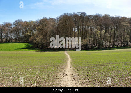 An English Rural Landscape with track through a field leading into a beech wood in the Chiltern Hills - Stock Photo