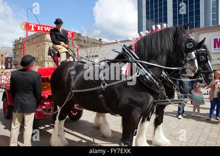 Thwaites Brewery Horses, UK - Stock Photo