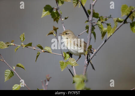 Willow warbler, Phylloscopus trochilus, single bird on branch, Warwickshire, April 2016 - Stock Photo