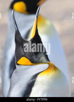 A King penguin (Aptenodytes patagonicus) calls.  Saunders Island, Falkland Islands. - Stock Photo