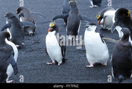Chinstrap Penguins (Pygoscelis antarctica) and  macaroni penguins (Eudyptes chrysolophus) stand on black volcanic - Stock Photo