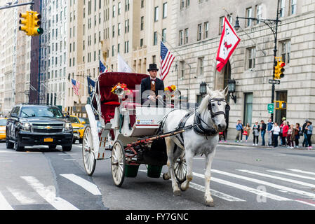 New York, NY 31 March 2016 - White carriage horse trotting west on Central Park South. - Stock Photo