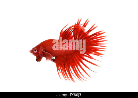 Red Crowntail Betta on white background - Stock Photo